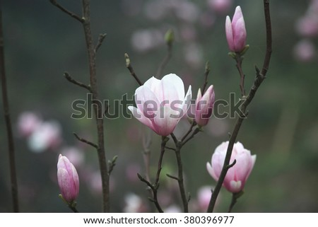 Lotus-flowered Magnolia,beautiful purple with white flowers and buds blooming in the countryside in spring,Southern Magnolia,Loblolly Magnolia,Large-flowered Magnolia - stock photo