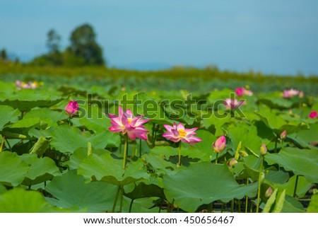 Lotus flowers in lake ,wild nature oriental - stock photo