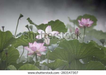 Lotus flowers in the fog - stock photo