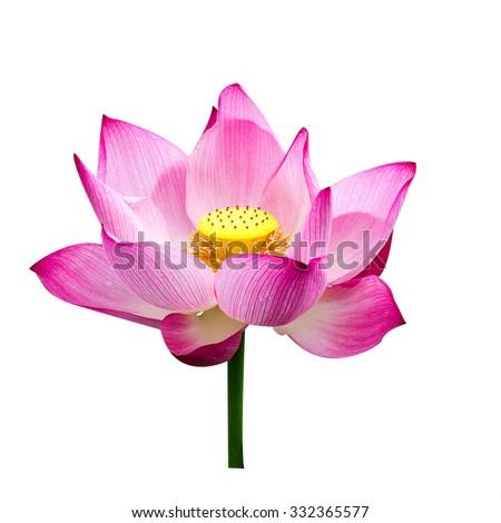 Lotus flowers on white background - stock photo