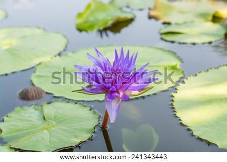 Lotus flowers purple - stock photo