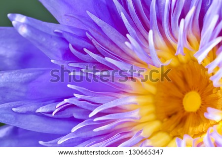 Lotus from Thailand - stock photo
