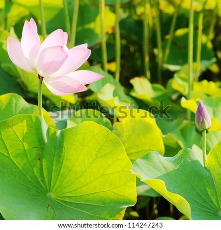 lotus in summer - stock photo