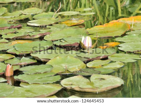 Lotus in the pond - stock photo