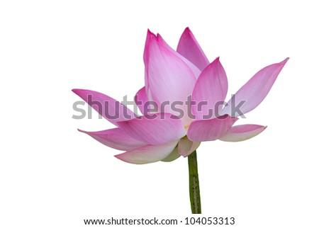 Lotus in white background - stock photo