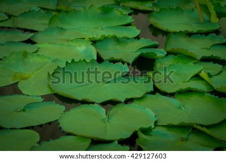 Lotus leaf, lotus leaf in bodies of water. - stock photo
