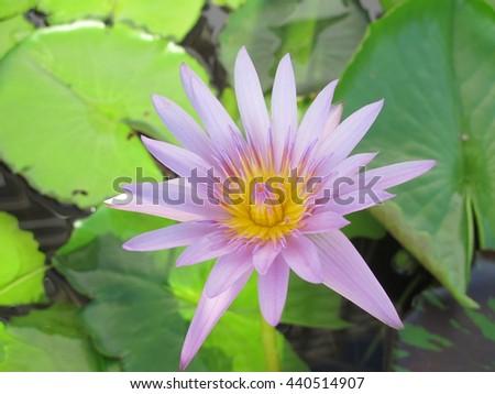 lotus purple flower beautiful green nature wallpaper water wall botany bloom - stock photo