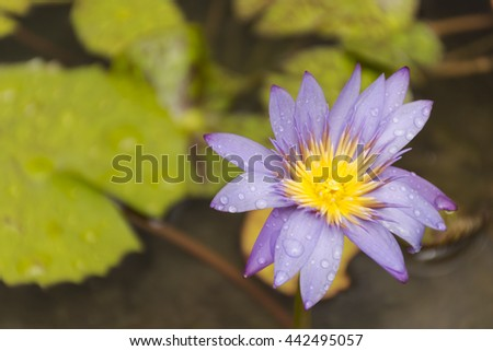 Lotus violet and background leaf in water suitable for background flower and nature and beautiful. - stock photo