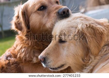 Love between dogs - stock photo
