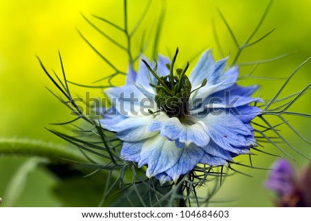 Love-in-a-mist flower  Nigella damascena - stock photo