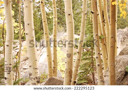 Love in the Aspens- initials carved into the trees - stock photo