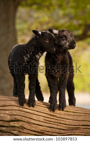 Love Is.  Two young lambs beside Derwentwater, Cumbria in the English Lake District. - stock photo