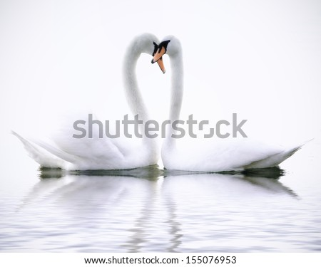 Love Swans - stock photo