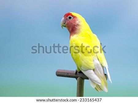 Lovebird (Agapornis roseicollis) yellow and red morph. - stock photo