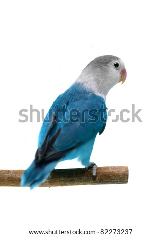 Lovebird isolated on white Agapornis fischeri (Fischer's Lovebird Clarified blue morph) - stock photo