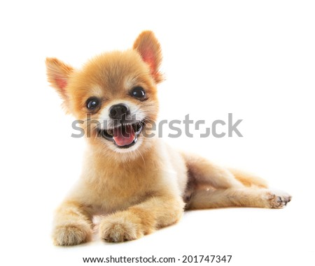 lovely acting of pomeranian puppy dog isolated white background use for pets ,adorable animals theme - stock photo