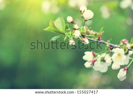 lovely blooming twig of cherry tree - stock photo