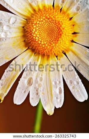 lovely chamomile on dark background - stock photo