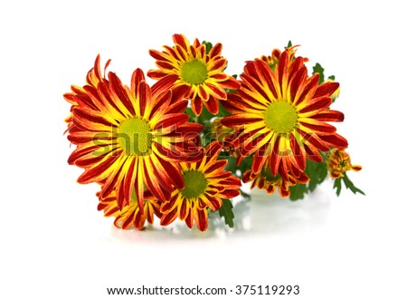 Lovely colored gerber daisy with flying petals - stock photo