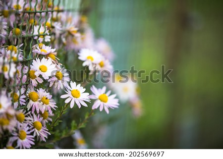 Lovely  daisyflowers with lush green background - stock photo