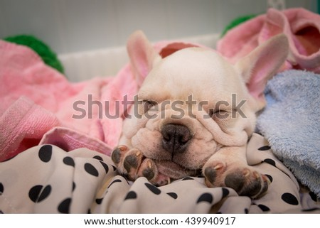 Lovely French bulldog - stock photo