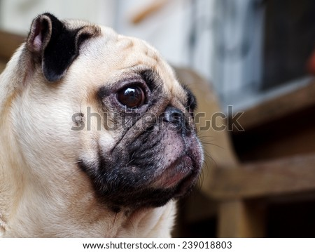 lovely funny white cute fat pug dog close up laying on a wooden chair making sad face outdoor under natural sunlight on a sunny day - stock photo