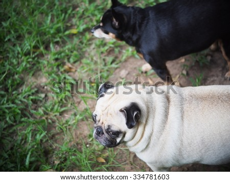 lovely funny white cute fat pug dog standing walking on green grass field floor in country house making sad face outdoor under natural sunlight with a black miniature pincher blur in background  - stock photo