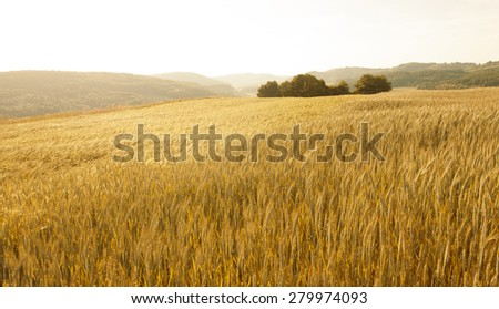 Lovely golden color sunny wheat field landscape background. Beautiful countryside wheat field with trees at evening light. - stock photo
