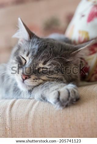 lovely grey cat (kitten) sleeping on sofa - stock photo