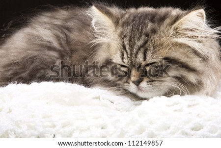 Lovely grey persian kitten lying in woolen shawl on black background - stock photo