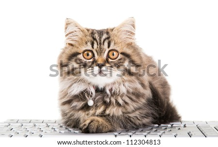 Lovely grey persian kitten sitting near the keyboard on isolated white background - stock photo