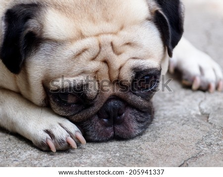 lovely lonely white fat cute pug dog laying on the floor making sadly face outdoor on the garage floor - stock photo