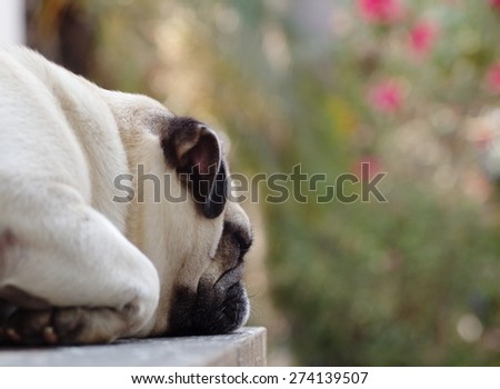 lovely lonely white fat cute pug dog laying on the wood table floor making sadly face with home outdoor surrounding bokeh background under morning sunligh - stock photo