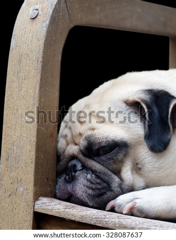 lovely lonely white fat cute pug dog laying on the wooden armchair seat making sadly face under morning sunlight, die-cut isolated on dark background - stock photo