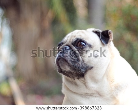 lovely lonely white fat cute pug dog playing on the floor making sadly face with home outdoor surrounding bokeh background - stock photo