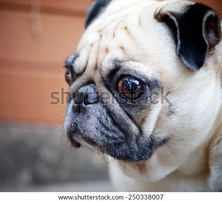 lovely lonely white fat cute pug dog playing outdoor making sadly face on the garage floor with home surrounding background - stock photo