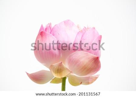 lovely lotus - stock photo