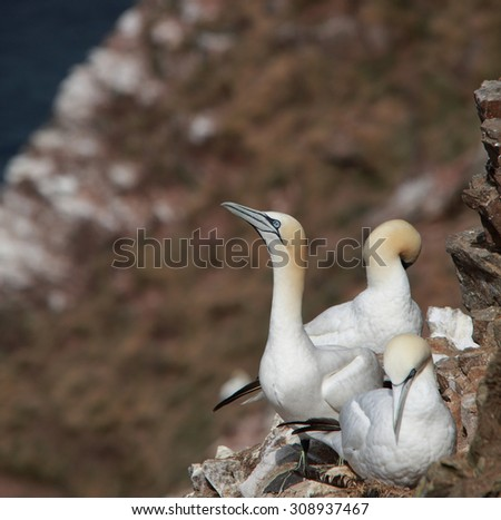 Lovely Northern Gannets on cliff by their nests - stock photo