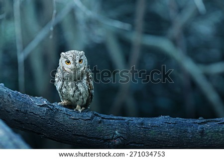 lovely Oriental Scops Owl , Thailand - stock photo