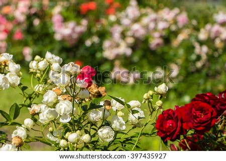 Lovely pink and white roses. Ornamental red and white roses filled picture. Beautiful small roses with green leaves. A lot of little roses buds. Sunny day. Unusual flower, unlike the others.Tolerance  - stock photo