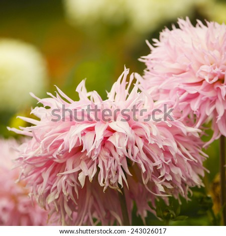 Lovely pink aster close up in the garden - stock photo