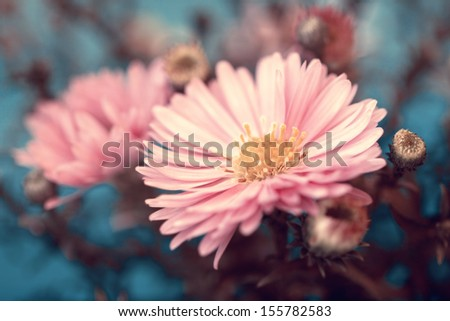 lovely pink aster flower - stock photo