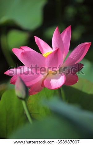Lovely pink waterlily blooming among green leaves in a pond under bright summer sunshine ~ Close-up of a lotus bud and a lotus flower in full bloom - stock photo