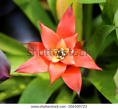 lovely red Bromeliad in the park - stock photo