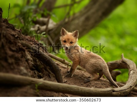 Lovely Red Fox cub Vulpes vulpes next to den among roots in european spring forest staring directly at the camera.  - stock photo