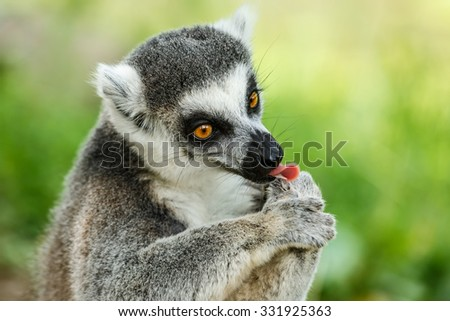 Lovely ring-tailed lemur face close up - stock photo