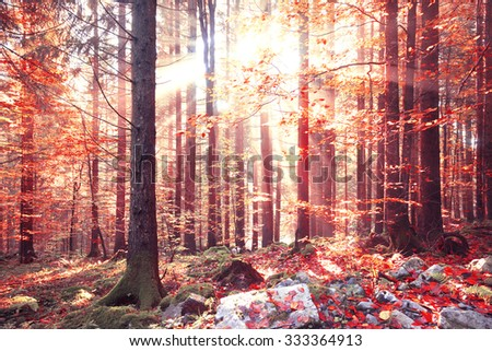 Lovely shiny red color autumn sunlight with beams in forest. Lovely autumn season red color leaves in forest landscape. - stock photo