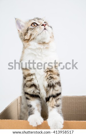 Lovely tabby persian cat playing in the paper box - stock photo