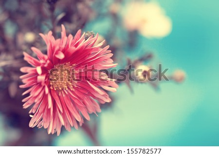 lovely vintage red aster close up - stock photo