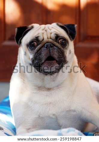 lovely white fat cute pug dog face close up lying on a big soft blue pillow outdoor making funny face barking at the camera under natural sunlight. - stock photo